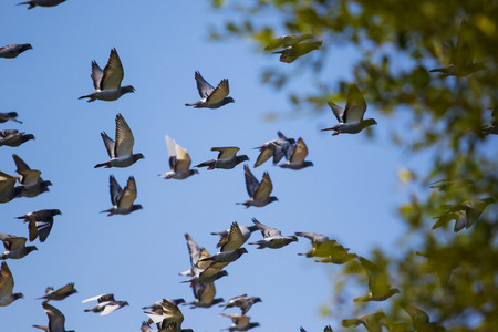 flock of speed racing pigeon release from competition basket Stok Fotoğraf - 113429463