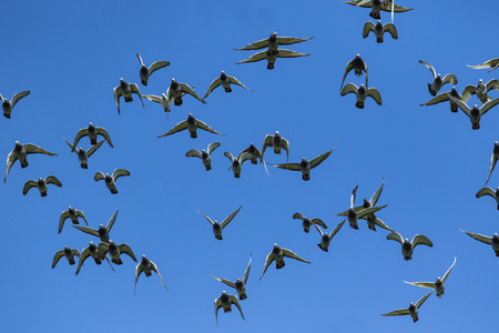 flock of speed racing pigeon release from competition basket