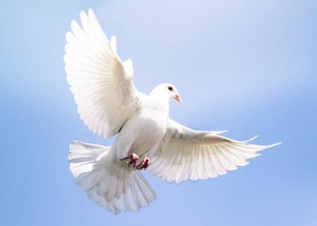 Taubenvogel mit weißen Federn, der gegen den klaren blauen Himmel fliegt