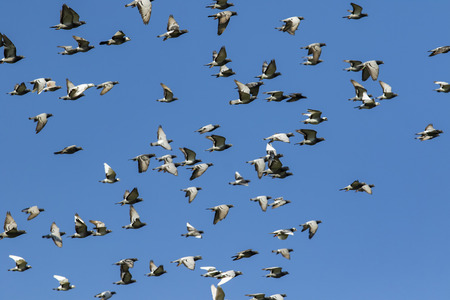 flock of speed racing pigeon bird flying against clear blue sky Stok Fotoğraf - 113431452