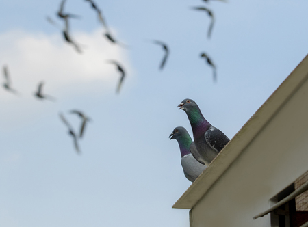 homing pigeon perching on home loft with flying on blue sky