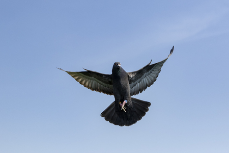 speed racing pigeon bird flying against clear blue sky