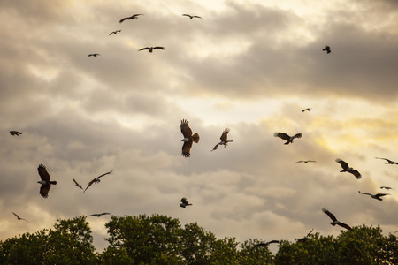 flock of Brahminy kite, Red-backed sea-eagle in mangrove forest thailand