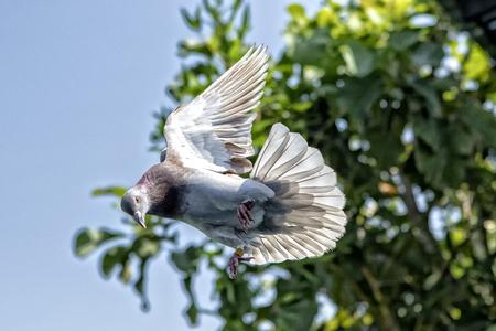 red choco speed racing pigeon bird flying mid air Stok Fotoğraf - 113429380