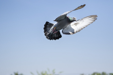 flying speed racing pigeon  against clear blue sky