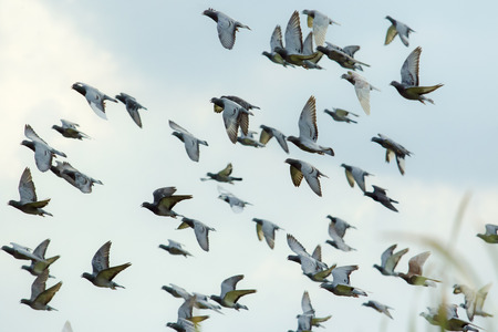 flock of flying speed racing pigeon release from competition basket against beautiful morning light Stok Fotoğraf