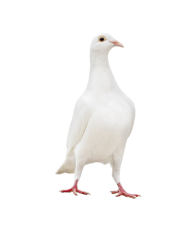 white feather pigeon standing isolated white background
