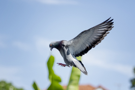homing pigeon bird flying for landing to home loft