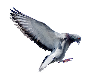 full body of flying pigeon bird isolated white background
