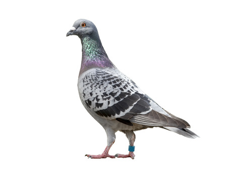 full body of speed racing pigeon bird isolated white background