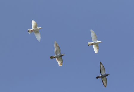 group of speed racing pigeon flying against clear blue sky Фото со стока
