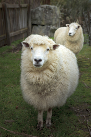 face of merino sheep in new zealand rural farm