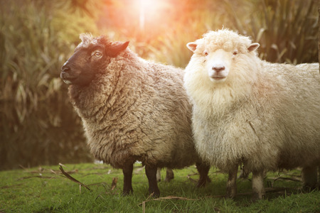 black and white merino sheep in rural farm new zealand