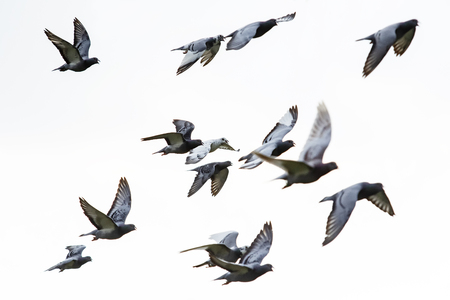 flock of speed racing pigeon flying against white background