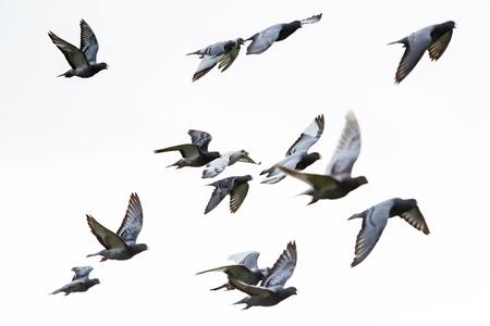 Herde von Speed Racing Tauben fliegen vor weißem Hintergrund