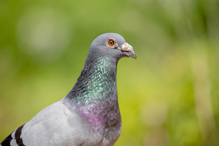 close up face of male speed racing pigeon against green blur background Stock Photo