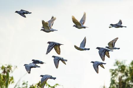 flock of speed racing pigeon brid flying