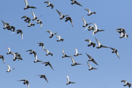 stormo di piccioni da corsa di velocità che volano contro il cielo blu chiaro Archivio Fotografico
