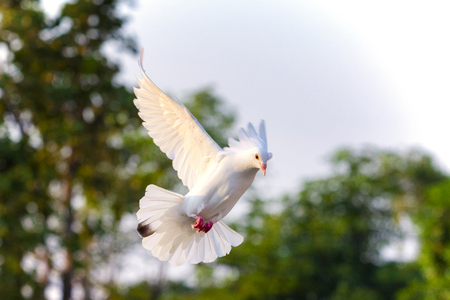 white feather pigeon bird flying mid air against green blur background