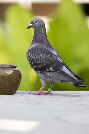 homing speed racing pigeon bird