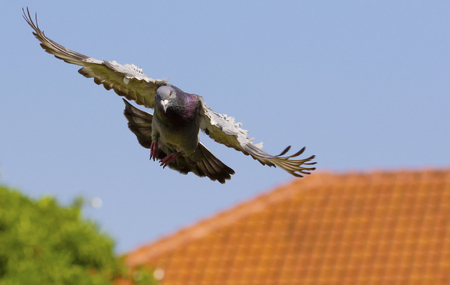 speed racing pigeon flying to home loft Stock Photo