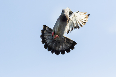 speed racing pigeon bird approach for landing to home loft