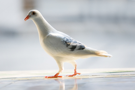 white feather homing pigeon bird 版權商用圖片