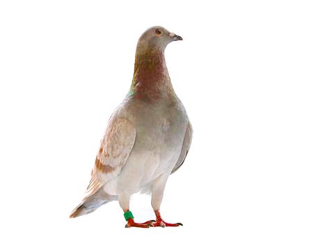 speed racing pigeon bird isolated white