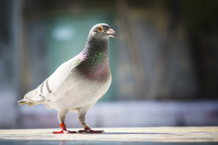 full body of speed racing pigeon standing against blur background