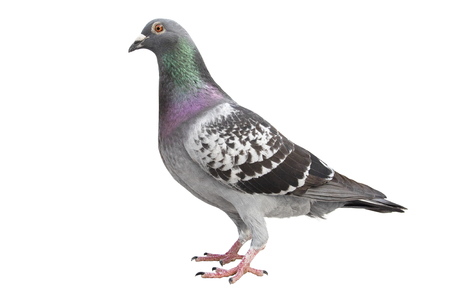 Scheckmuster Feder der Speed Racing Taube isolierten weißen Hintergrund