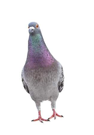 full body of front view homing pigeon bird standing isolated white background