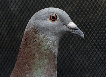 close up eye and detail on head of homing speed racing pigeon in home loft