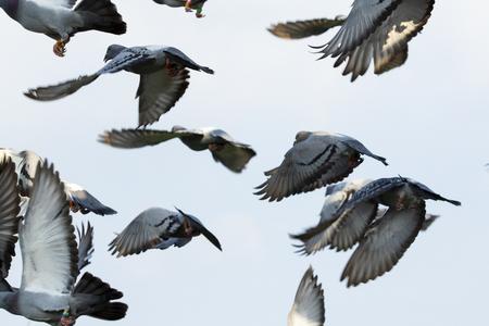 flock of speed racing pigeon flying mid air Banco de Imagens