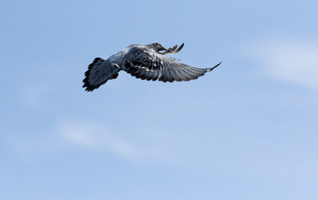 speed racing pigeon flying against beautiful blue sky