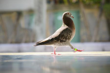 speed racing pigeon bird walking forward