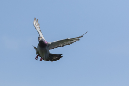 speed racing pigeon flying mid air against clear blue sky Stok Fotoğraf