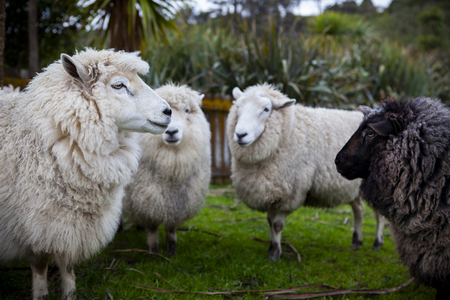 close up face of black and white  new zealand merino sheep in rural farm