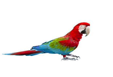 Seitenansicht voller Körper von Scharlachrot, roter Ara-Vogel, der isoliert auf weißem Hintergrund steht Standard-Bild