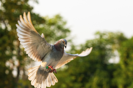 rote Federgeschwindigkeits-Renntaube, die im grünen Park fliegt