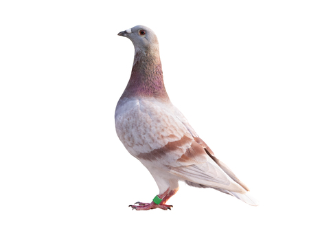side view full body of red feather speed racing pigeon isolated white background
