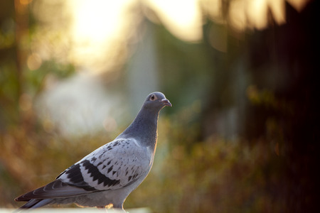 juvenile homing pigeon bird standing outdoor against beautiful sunset light 写真素材