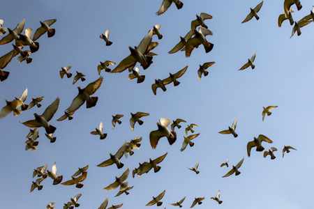 stormo di piccioni da corsa di velocità, che volano contro il cielo blu chiaro