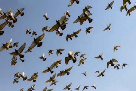 flock of speed racing pigeon bird, flying against clear blue sky