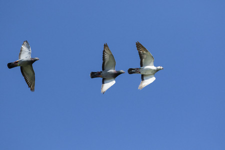 three speed racing pigeon bird flying against clear blue sky