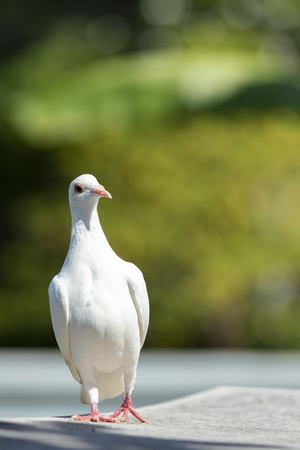 full body of white feather homing pigeon bird standing outdoor