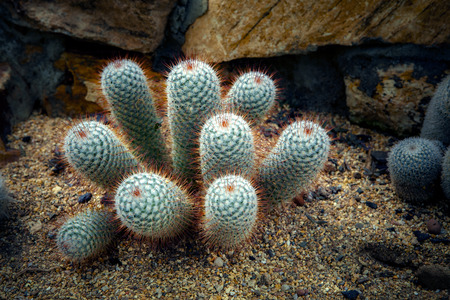 close up needle of cactus on dry desert