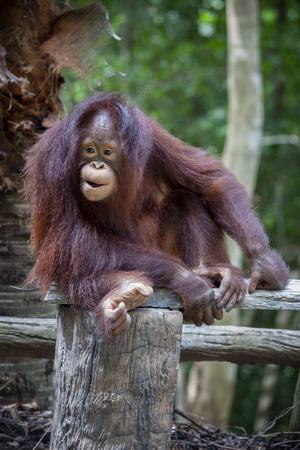 close up full body and face of Borneo Orangutan