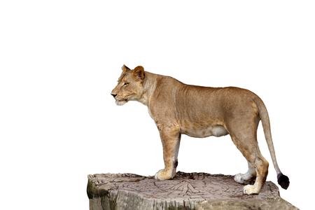 Todo el cuerpo de leona de pie sobre un gran tocón de árbol aislar el fondo blanco.
