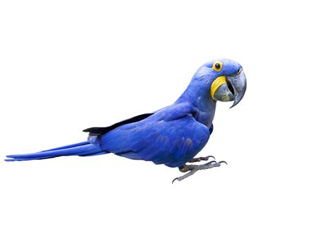 widok z boku całe ciało hiacyny ara ptak na białym tle