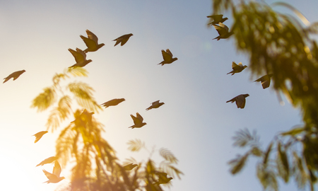 flock of homing pigeon bird flying against beautiful evening sun light